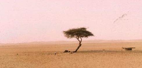 Árbol del Teneré